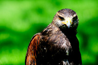 Hawk, Harris Hawk, raptor, portrait