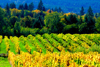 Vineyard, Glenora BC, grapes, fall colours