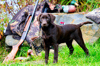 Chocolate Lab, hunting dog, purebred, Cooey shotgun, bird dog