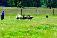 Cobble Hill, sheep dog, herding, Border Collie, recreation, lifestyle