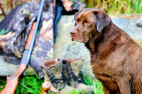 Chocolate Lab, hunting dog, bird dog, purebred, Cooey shotgun, 12 gauge