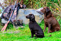 Chocolate Lab, hunting dogs, bird dog, purebred,12 gauge shotgun