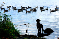 Chocolate Lab, geese, bird dog, purebred