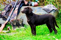Chocolate Lab, hunting dog, bird dog, purebred