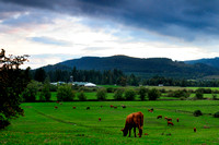 cows, grazing, pasture, field, Cowichan Station, Duncan