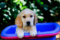 Golden Retriever, puppy, basket, purebred, Mill Bay