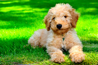 Australian Labradoodle, puppy, miniature, cute, Shawnigan Lake