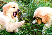 8 week old Golden Retriever puppy playing.