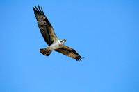 Cowichan Bay, Osprey,  flight