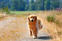 Golden Retriever, Walker, retrieving stick, Cowichan Bay