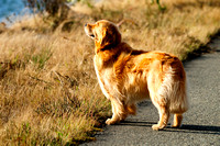 Golden Retriever, Walker, sniffing, smell, estuary, Cowichan Bay