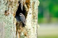 Tree Swallow, Cowichan Bay, bird, nest