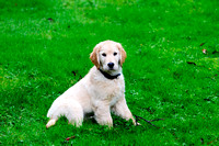 Golden Retriever puppy, purebred, Ryder, Shawnigan Lake