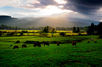 Cows, grazing, Cowichan Station, Duncan, field, pasture