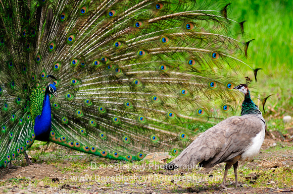 Peacock, Peahen, courtship