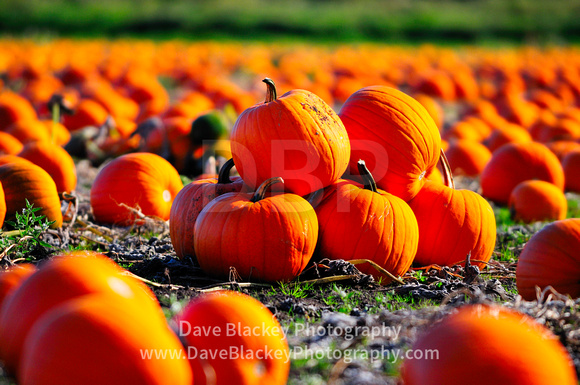 Pumpkins, Saanich Peninsula, pumpkin patch