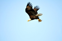 Cowichan Bay, Bald Eagle, fish, talons, flight