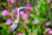 Cowichan Bay, BC, bigleaf maple trees, fall colours