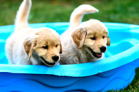 Two 8 week old Golden Retriever puppies playing.